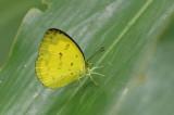 One Spot Grass Yellow (Eurema andersoni))