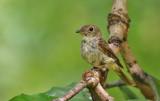 Brown-streaked Flycatcher