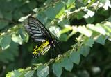 Golden Birdwing (Troides aeacus)