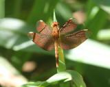 Fulvous Forest Skimmer (Neurothemis fulvia) female