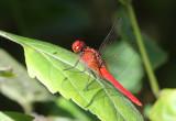 Spine-legged redbolt (Rhodothemis rufa)