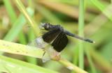Pied Paddy Skimmer Neurothemis tullia