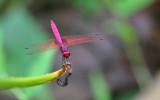 Crimson Dropwing Trithemis aurora