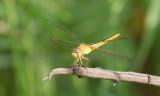 Scarlet Skimmer Crocothemis servilia