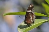 Great Eggfly Hypolimnas bolina