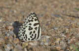 Common Pierrot Castalius rosimon
