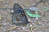 Dark Blue Tiger Butterfly (Tirumala septentrionis)