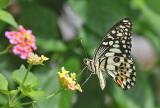 The Lime Swallowtail (Papilion demoleus)