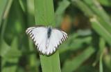 Striped Albatross, (Appias olferna)