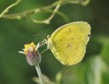 Common Grass Yellow Eurema hecabe