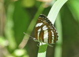 Common Sailor (Neptis hylas)