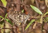 The Lime Swallowtail (Papilion demoleus), female