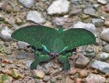 Paris Peacock Swallowtail Papilio paris