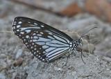 Glassy Tiger Parantica aglea