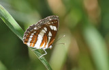 Common Sailer (Neptis hylasz)