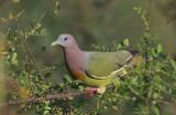 Pink-necked Pigeon