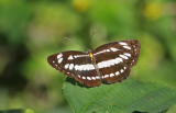 Common Sailer Neptis hylas