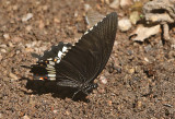 Common Mormon Swallowtail Papilio polytes