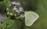 The Lemon Emigrant, (Catopsilia pomena)