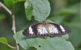 Leopard Lacewing Butterfly Cethosia cyane, female