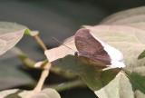 Grey Count Tanaecia lepidea