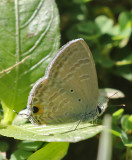 Forget-Me-Not Catochrysops strabo