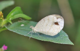 Psyche (Leptosia nina)