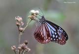 Chestnut Tiger (Parantica sita)