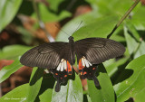 Common Mormon Swallowtail (Papilio polytes)