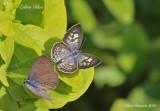 Zebra Blue (Leptotes plinius)