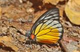 Redspot Sawtooth (Prioneris philonome)
