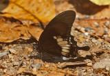 Banded Mormon (Papilio pitmani)
