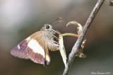 Yellow Banded Awl (Hasora schoenherr)