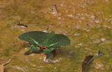Paris Peacock Swallowtail (Papilio paris)