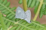 Plain Hedge Blue (Celastrina lavendularis)