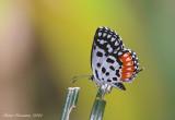 Lycaenidae (Gossamer-winged butterflies)