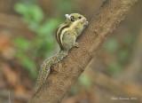 Western Striped Squirrel Tamiopes macclellandii