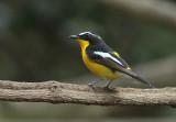 Yellow-rumped Flycatcher, male