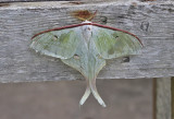 Moths of Thailand