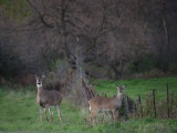 Doe and Yearling in Wisconsin