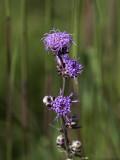 Purple and Wild