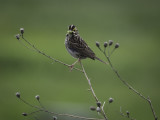 Song Sparrow With a Mouthful