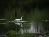 Turtle n Egret in a Pond