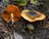 Cortinarius clandestinus
