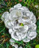 Lepista densifolia
