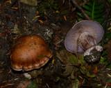 Cortinarius glaucopus