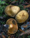 Suillus tomentosus