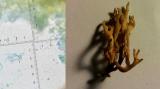 Ramaria curta with oak & hawthorn Beeston Sidings Nottingham Tricia Rice Nov.2020.png
