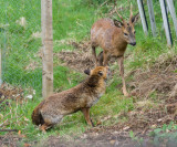 Deer and fox