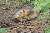Foxes in the garden